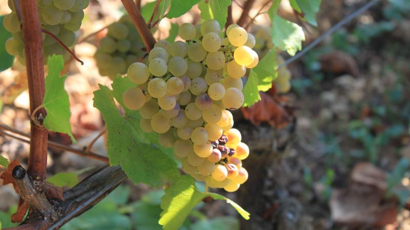 Yields of Chardonnay were low in Burgundy this year, but what was harvested was high quality.