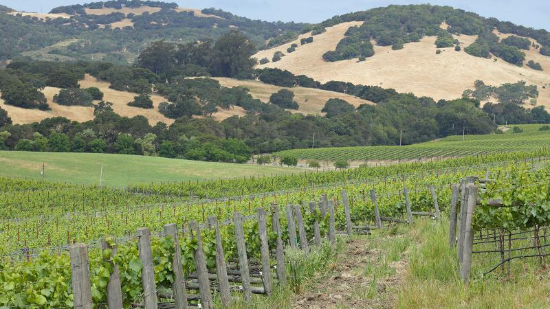 Napa Valley's hillsides are dotted with old oak trees and pines.