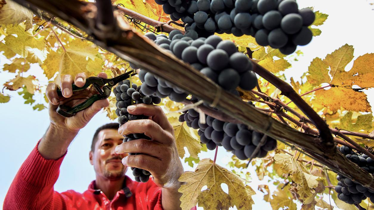 Wine Harvest Report 2016: Piedmont Starts Late but Ends Strong