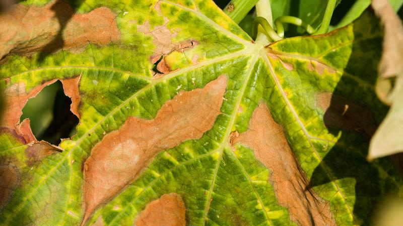 Leaves of vines infected by Pierce's disease yellow and die as the illness chokes the vine of nutrients.