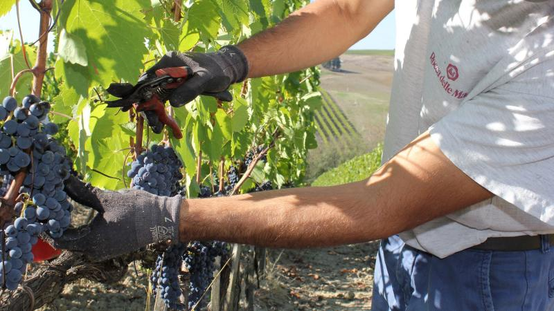 Wine Harvest Report 2016: Tuscany Enjoys a Promising Year