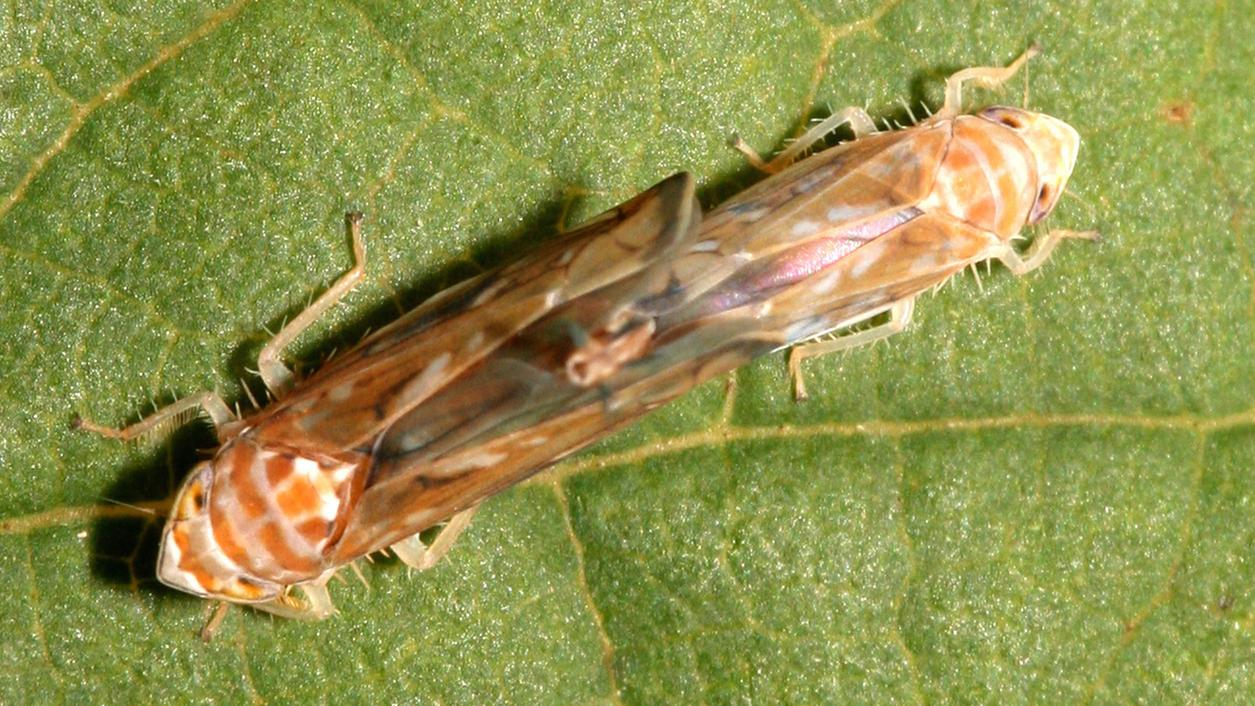 Could Bad Vibrations Thwart Sex Lives of Vine-Threatening Leafhoppers?