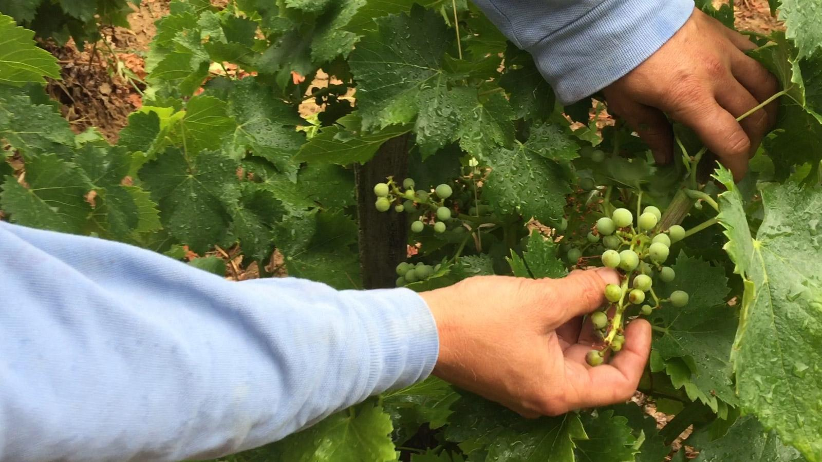 Domaine La Barroche's 2017 crop was reduced by grape shatter.