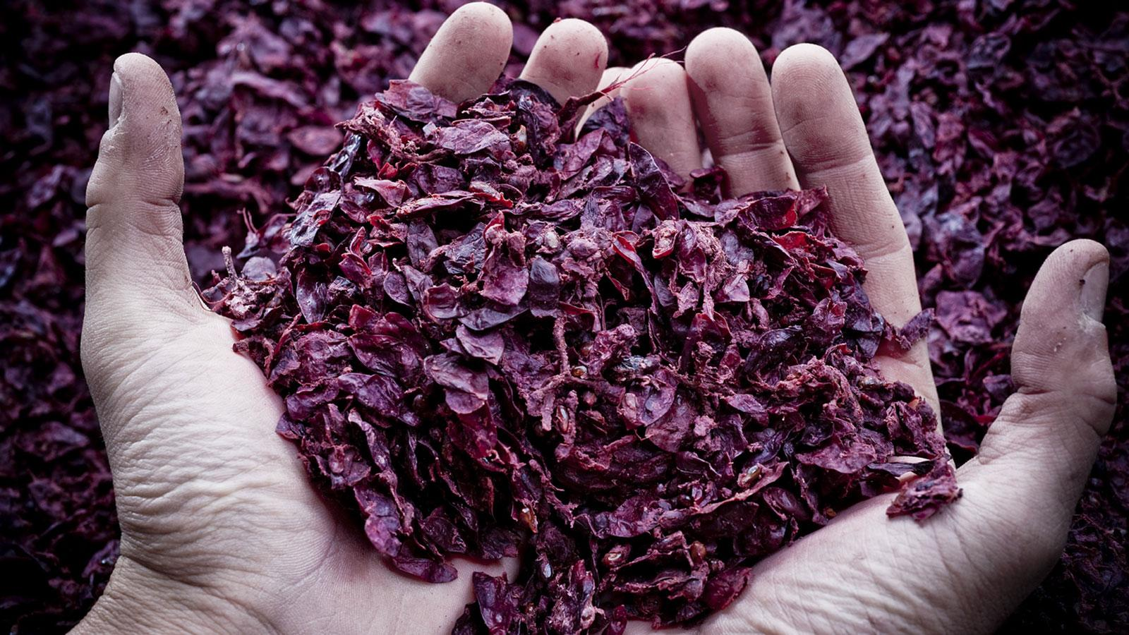 The raw material for making grappa: pomace, the grape skins (as well as some seeds and stems) left over after wine fermentation.