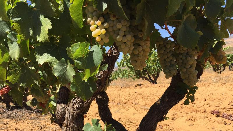 Old vines, likes these for Alheit winery, fared better in a dry year in the Cape wine regions.