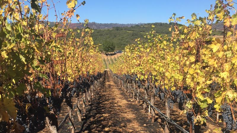 Scorched ground and shriveled grapes were left behind at Michael Mondavi's Atlas Peak vineyard.
