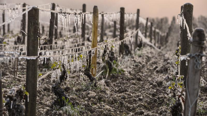 Vines in Chablis were among the victims of a recent cold front.