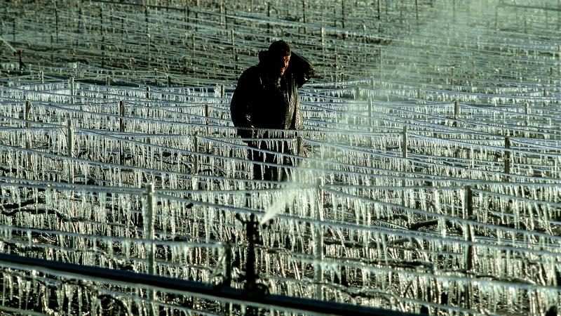 Vineyards in Champagne have been hit hard by frost.