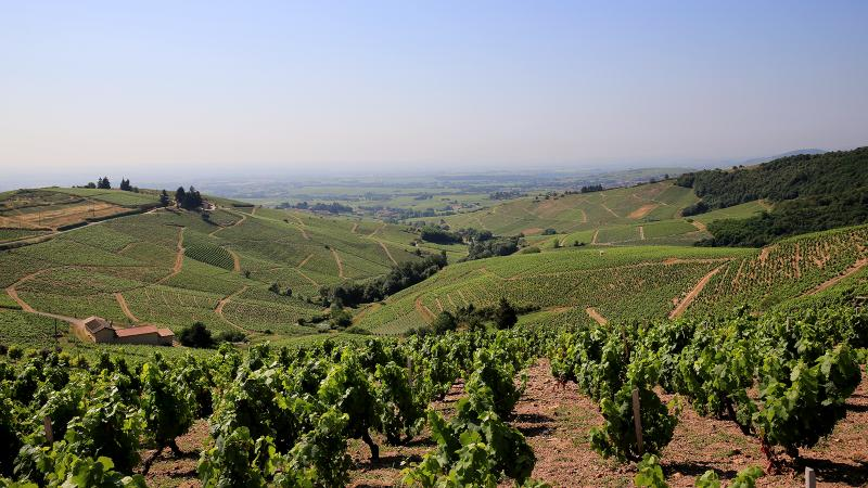 The Piron family's lineage in Beaujolais dates back to the 16th century. Dominique is a 14th-generation vigneron, still based in Morgon but also making wine from neighboring <i>crus</i>.