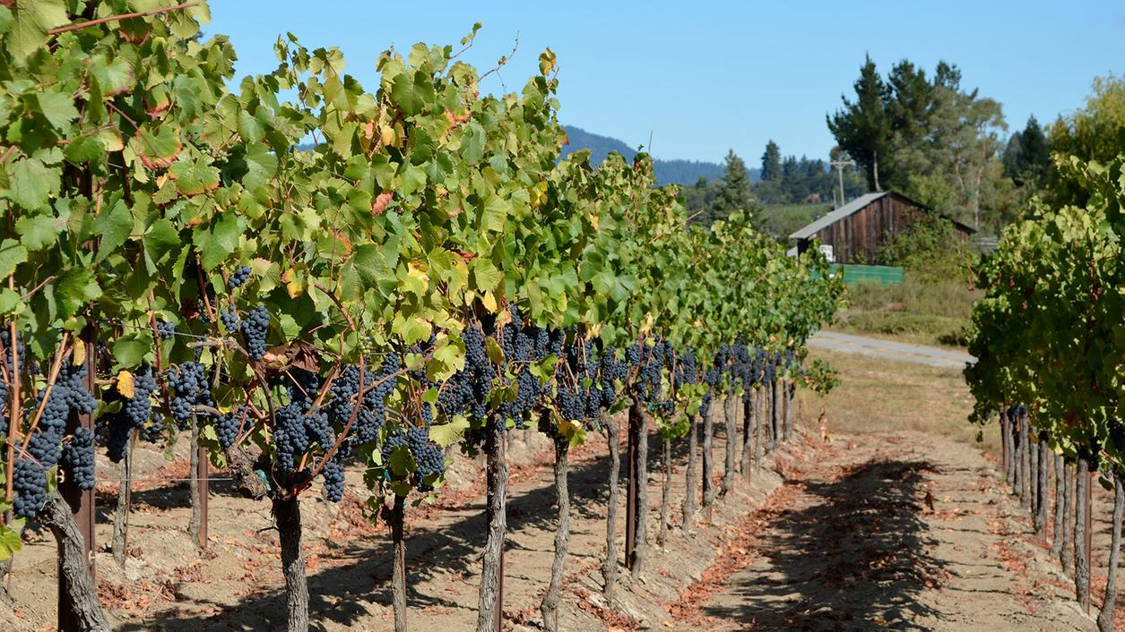 11 Lip-Smacking California Pinot Noirs