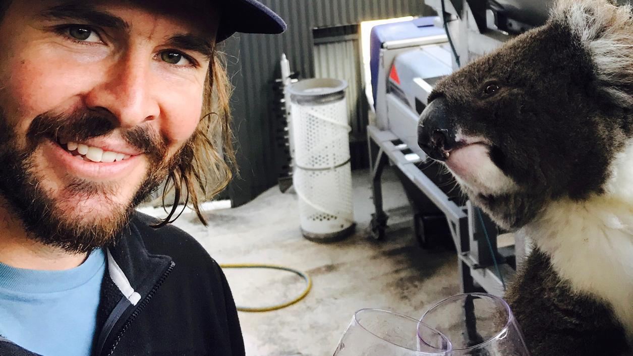 Adorable Booze-Loving Koala Thinks It's (Australian) People