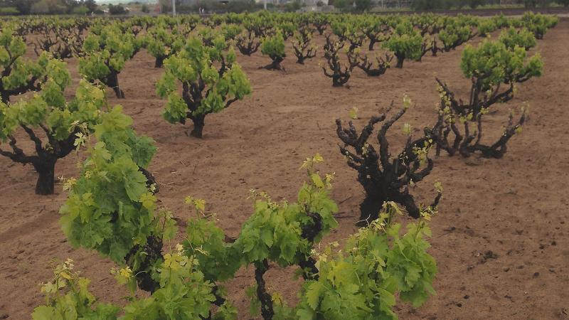 Own Rooted vs. Grafted Vines: Which Make Better Wines?
