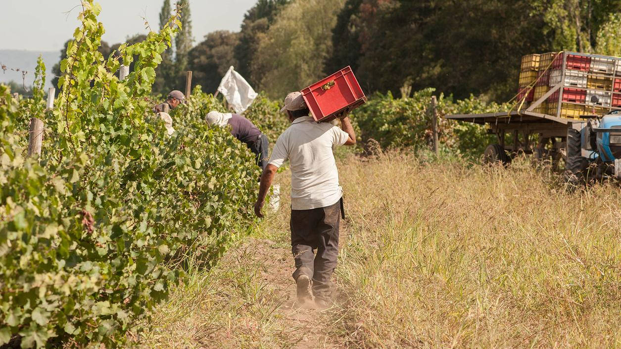 After Back-to-Back Difficult Vintages, Chile's 2018 Harvest Brings Relief