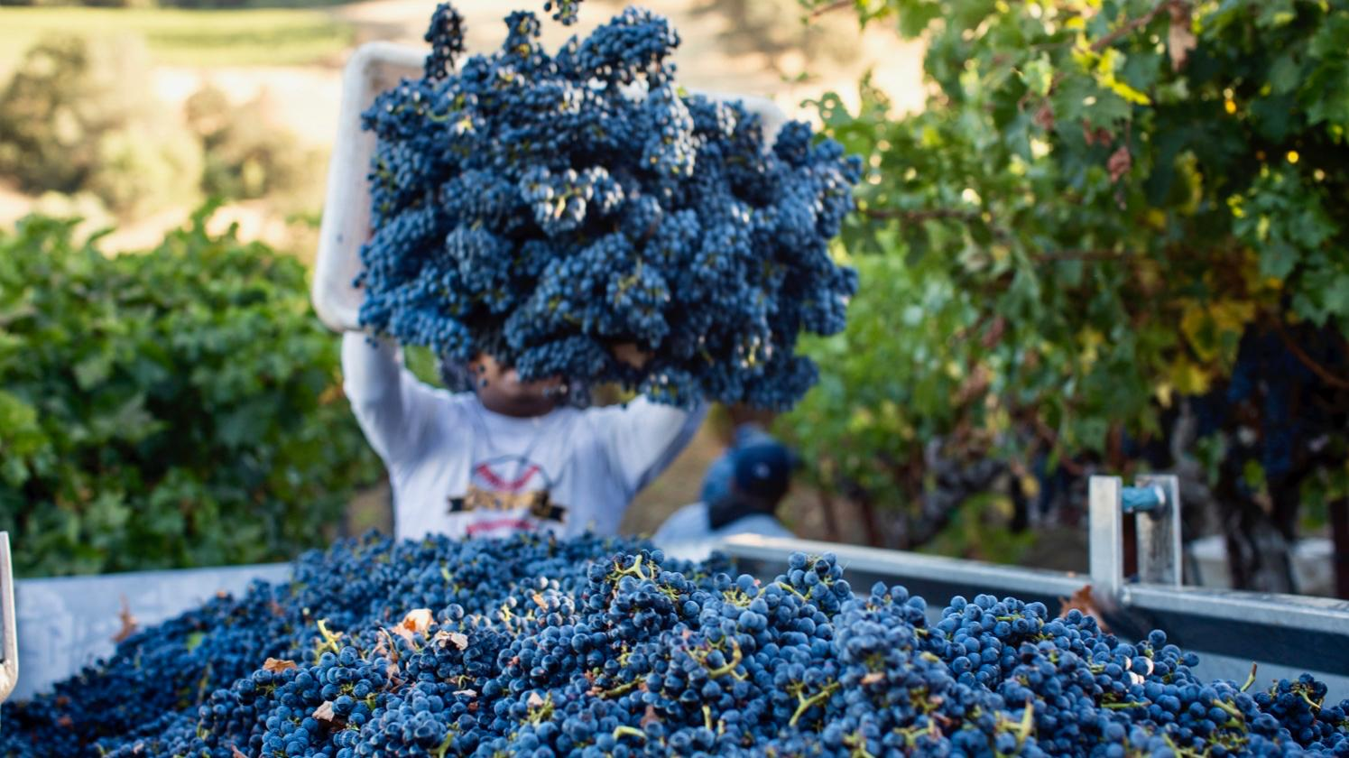 2018 Harvest Report: Sonoma Sings of an Ideal Year