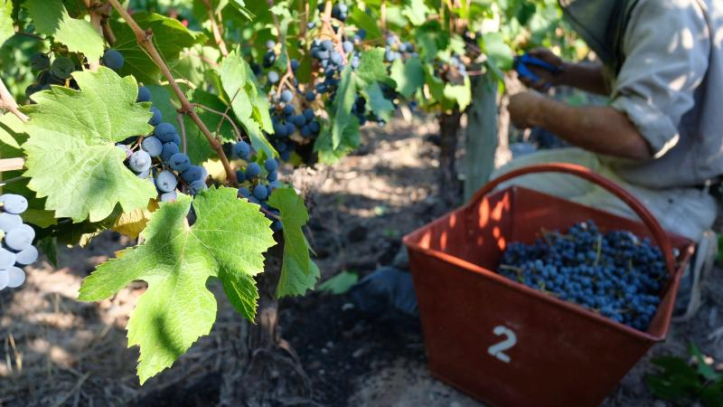 Malbec waits on the vine to be picked in Mendoza last month.