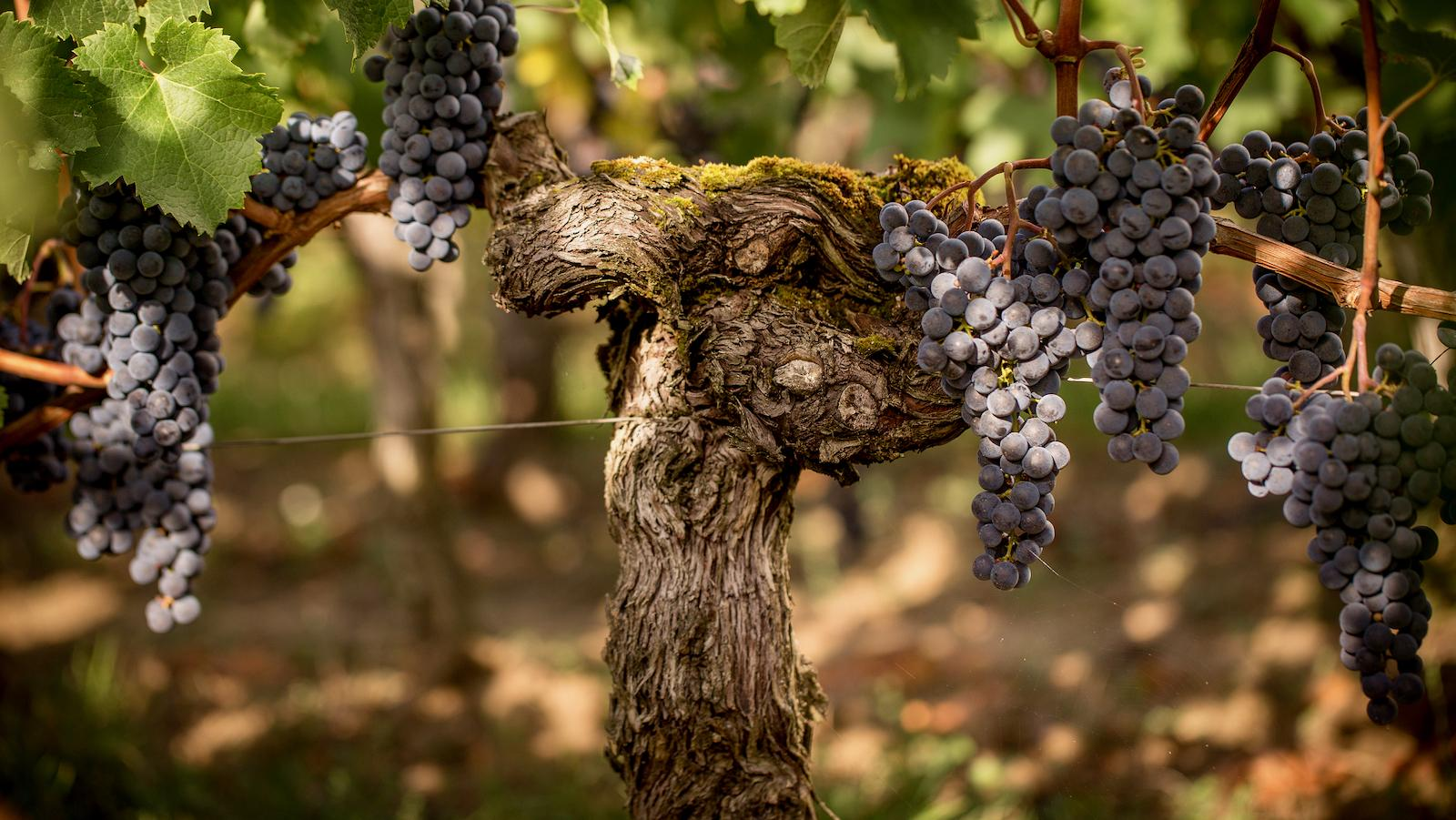 2018 Harvest Report: A Sigh of Relief in Bordeaux