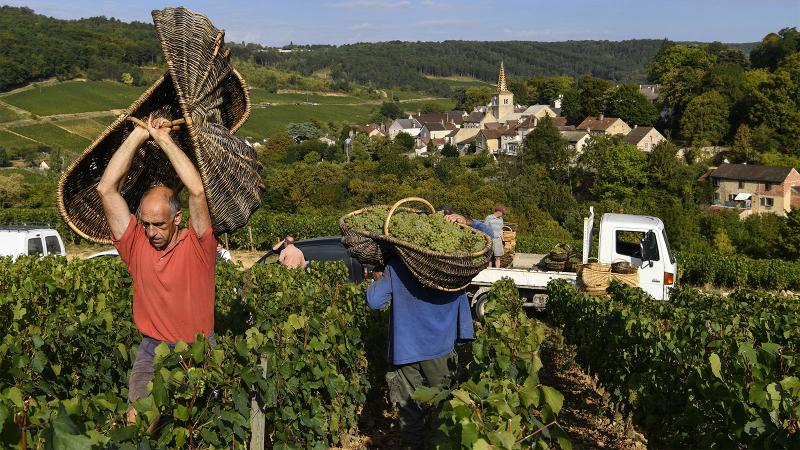 Harvest was slow but rewarding in Corton-Charlemagne and other Burgundy top spots.