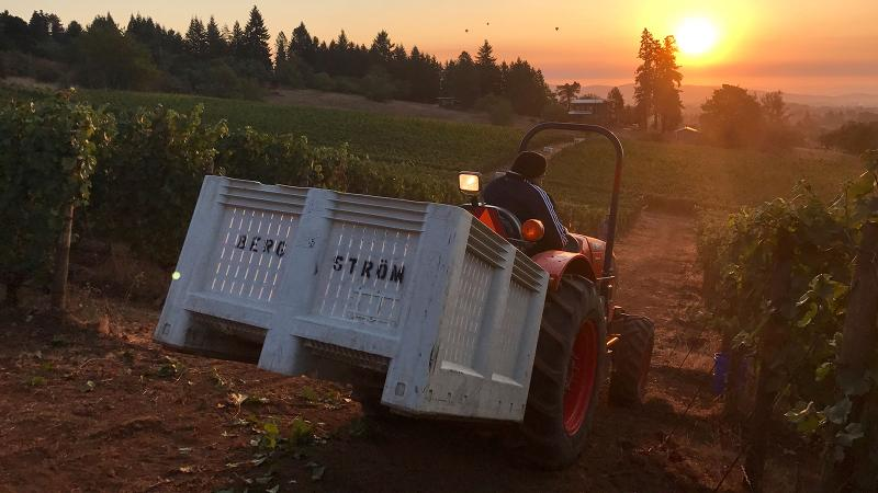 Vineyard workers in Oregon transport grapes into the winery.