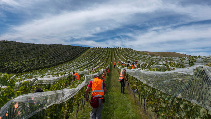 Vineyard workers pick Pinot Noir at Greywacke in New Zealand. Sunny weather was rare during harvest.