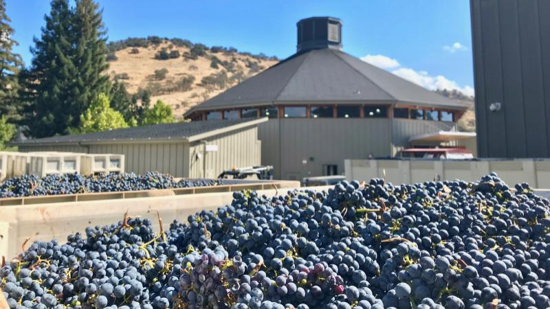 Merlot waits to be crushed at Paraduxx in Napa Valley.