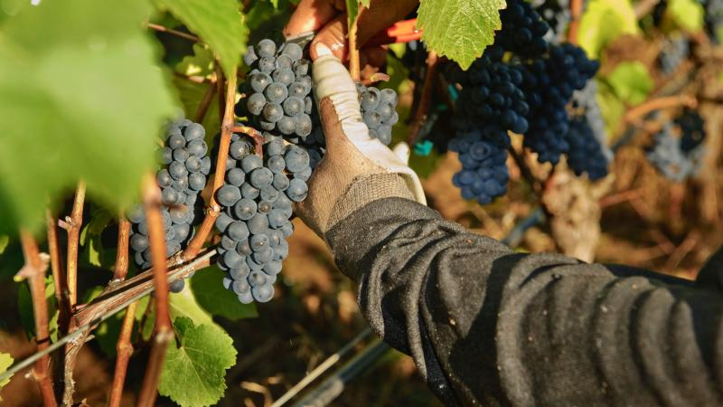 Pinot Noir across Oregon is ready to be picked, but some wineries are refusing their orders.