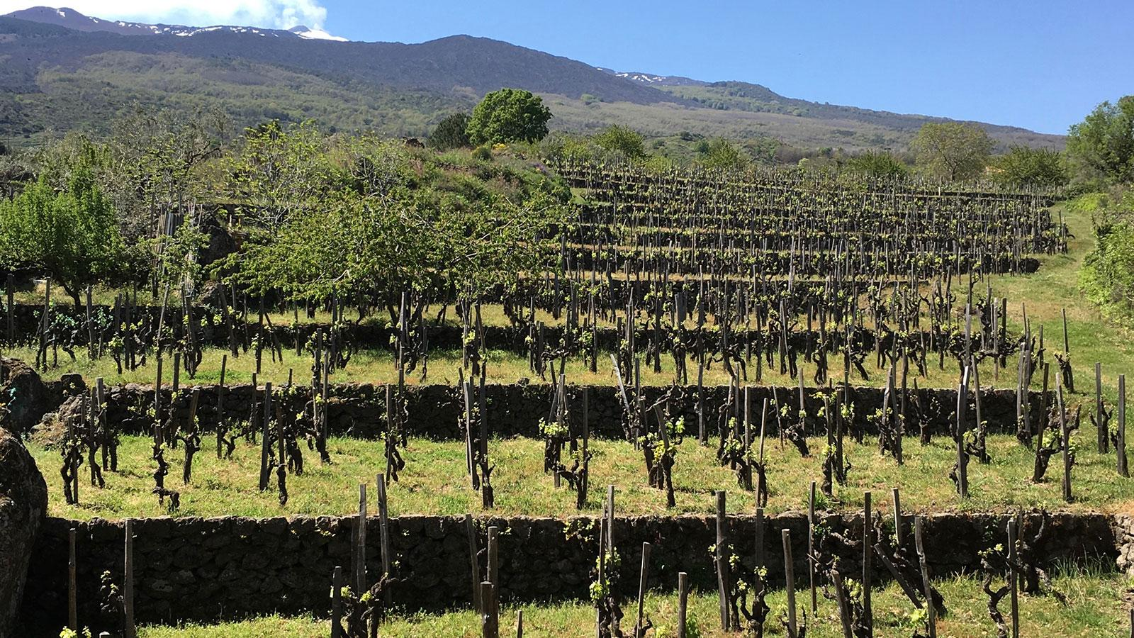 Etna's vineyards sit on a patchwork of frequently changing terroirs.