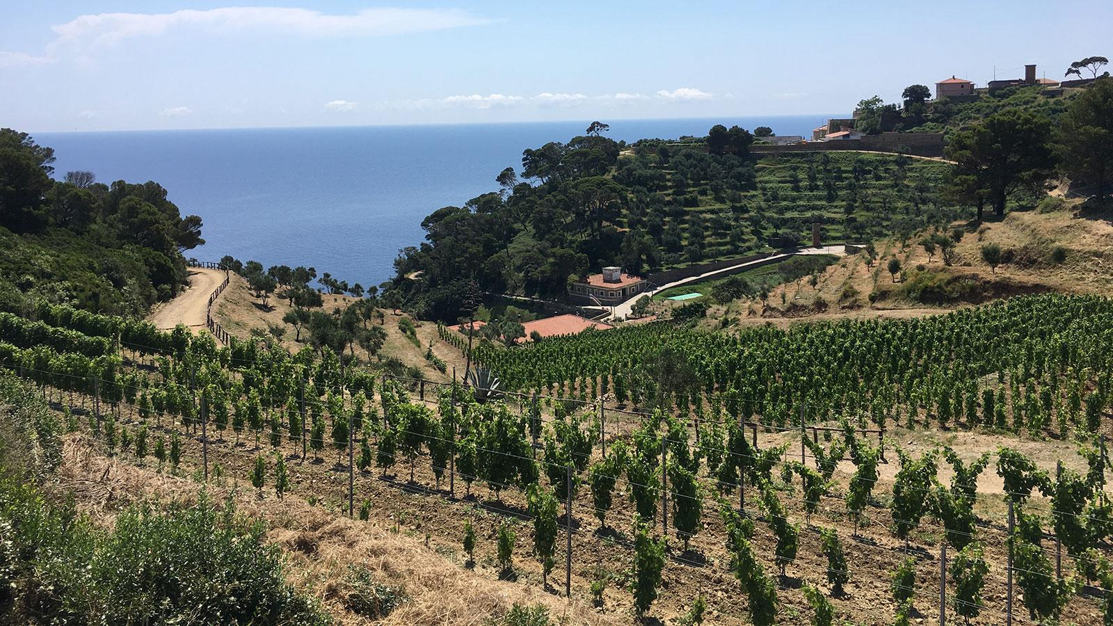 Gorgona's vineyards, recently expanded with new plantings, include Vermentino, Ansonica, Sangiovese and Vermentino Nero.