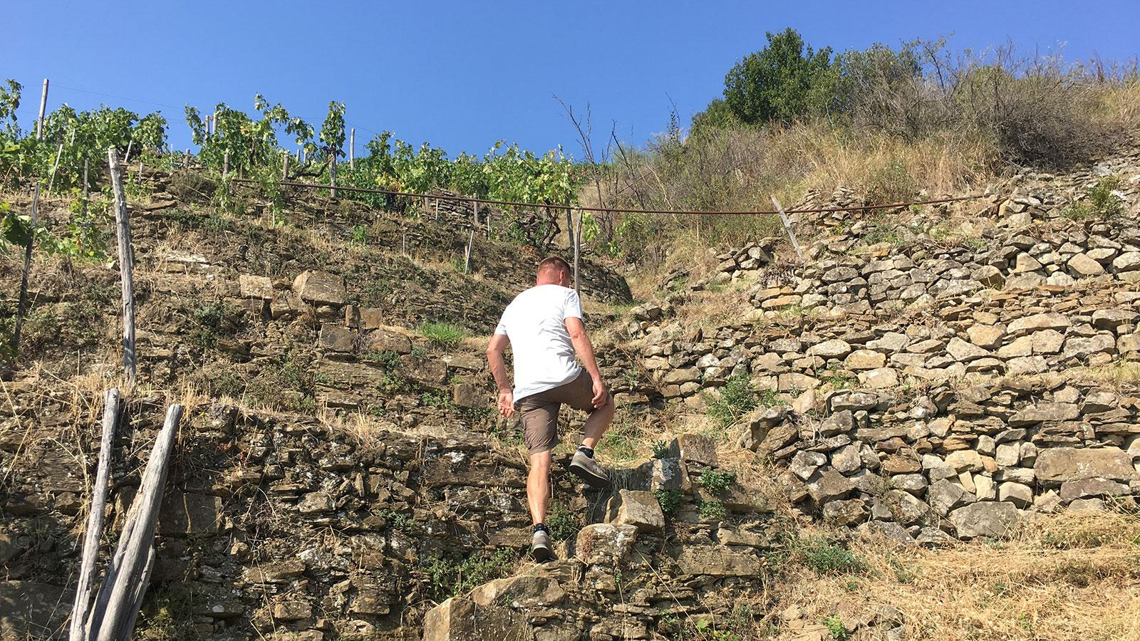Most vineyards in Rossese di Dolceacqua are inaccessible to tractors; vintner Goetz Dringenberg navigates his way up the Posaù cru.