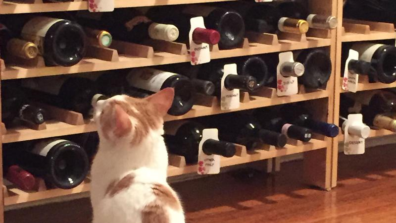 Chenin, Wine Spectator assistant editor Emma Balter's cat, ponders tonight's selection.