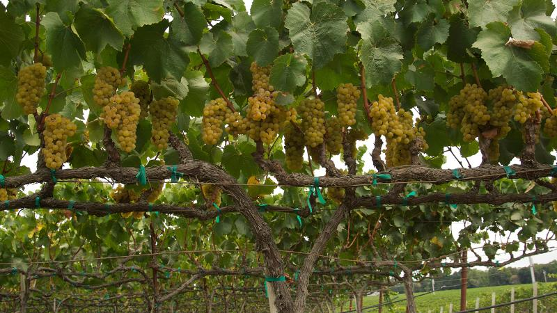 The Poseidon vineyards are located at the junction of Carneros Creek and the Napa River, a cool-climate area of the North Coast.