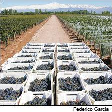 Malbec grapes during an Argentina harvest.