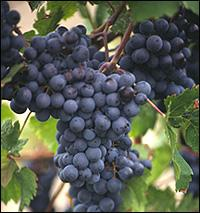 Researchers hope to use a polyphenol found in grape skins and red wine to extend longevity and prevent diseases.