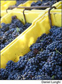 Pinot Noir grapes for Mumm Napa's sparkling wine were among the first to be picked this year.