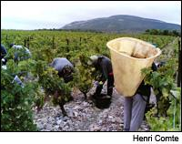 Workers harvest grapes in stone-filled vineyards near Corbieres. Much of France had up and down weather all season.