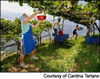 In Northern Italy's Alto Adige region, workers at Cantina Terlano harvest white grapes.