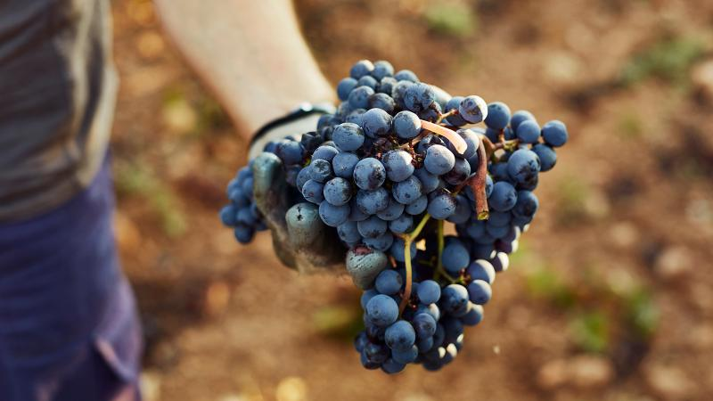 Resveratrol May Play Key Role in Lowering High Blood Pressure