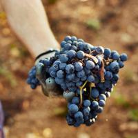 Scientists have known that resveratrol found in grapes can lower blood pressure; now they may know why.