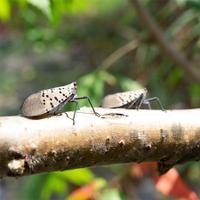Spotted lanternflies will swarm on trees and vines, sucking the sap until the plants are dead.