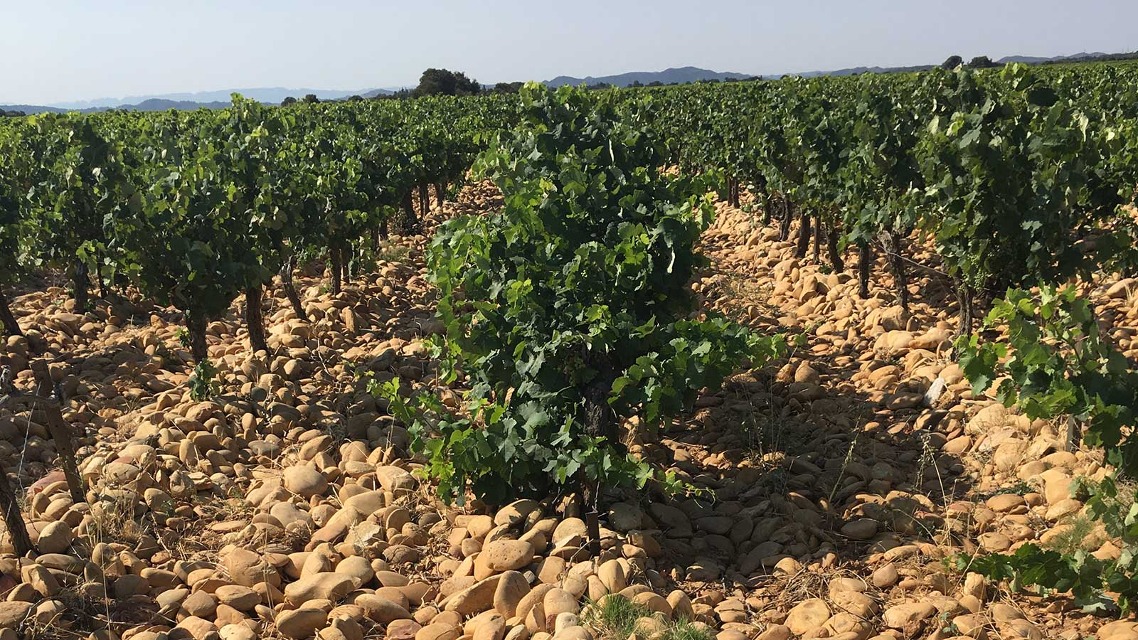 Large, rounded stones cover the rows between vines in a vineyard on the Vallongue plateau.