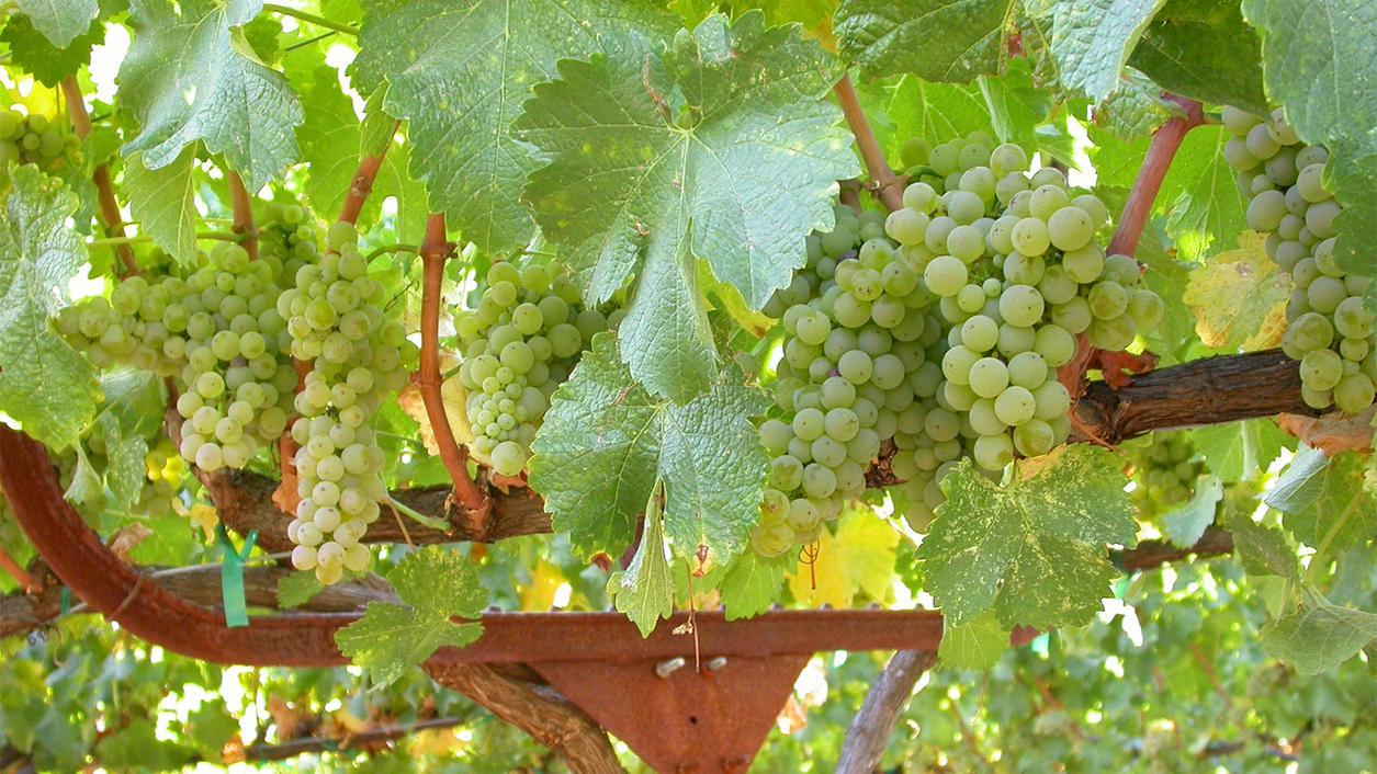 Why You Should Be Drinking California Sauvignon Blanc