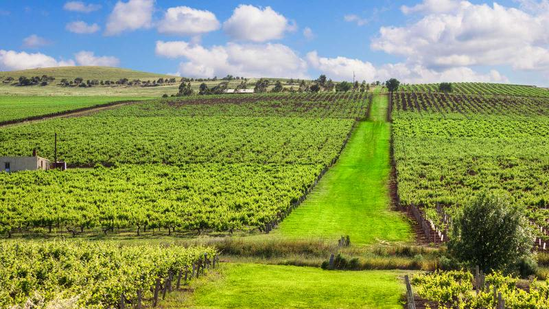 A bright green vineyard on a very gentle slope