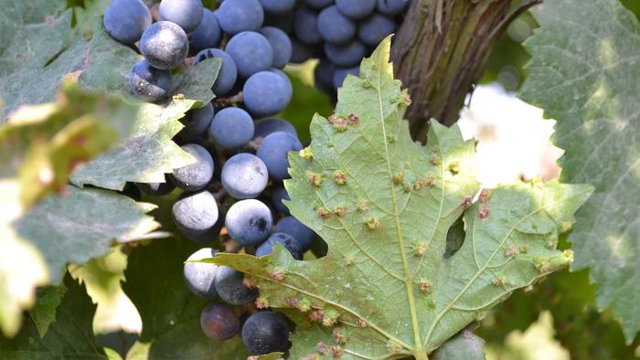 Walla Walla Wineries Confront Phylloxera