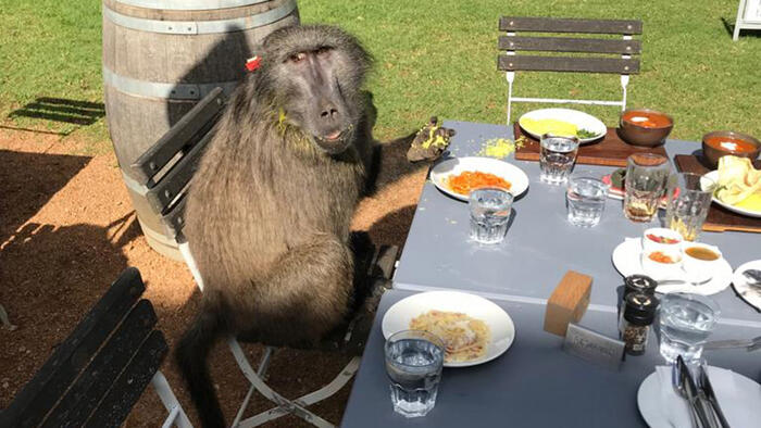 Discerning Baboon Stops to Dine at Cape Winery: 'This One Clearly Loved Italian Cuisine'