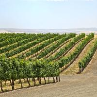 Syrah vineyard