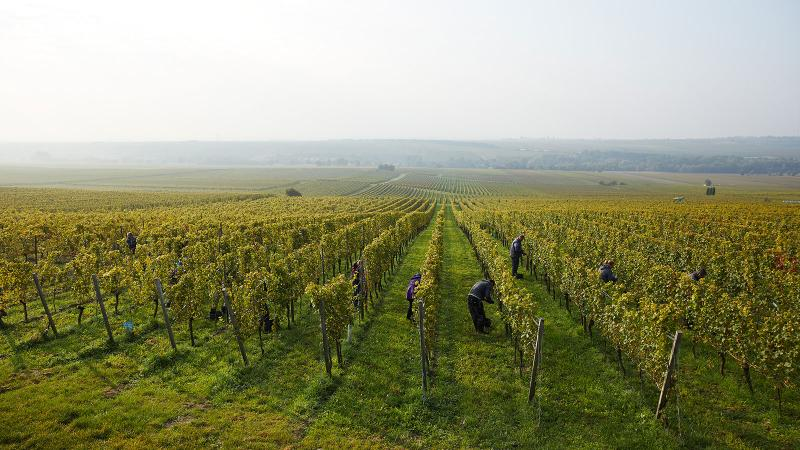 Wittmann's vineyards in Rheinhessen are harvested by hand.