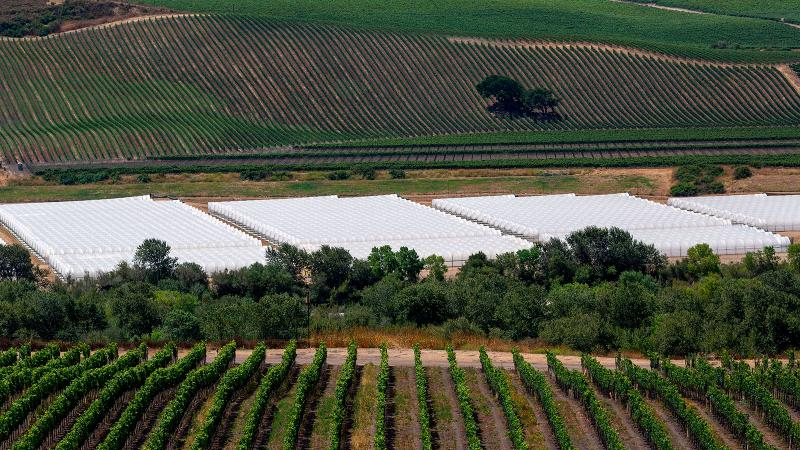 White greenhouses of a cannabis growing operation sprouted earlier this year between Fiddlestix and Sea Smoke vineyards in the Santa Ynez Valley.