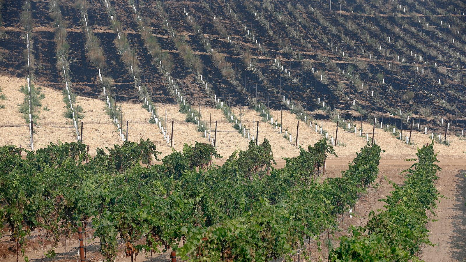 A partially scorched vineyard in Geyserville, Calif.