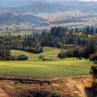 Turley's certified organic Dragon Vineyard sits atop Napa's Howell Mountain.