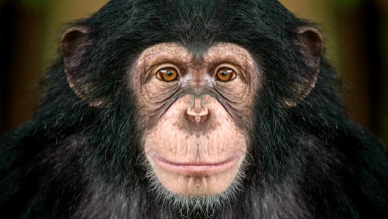 Apes, including chimpanzees and humans, are able to process ethanol.