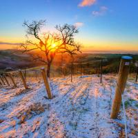 Snowy vineyard at sunset